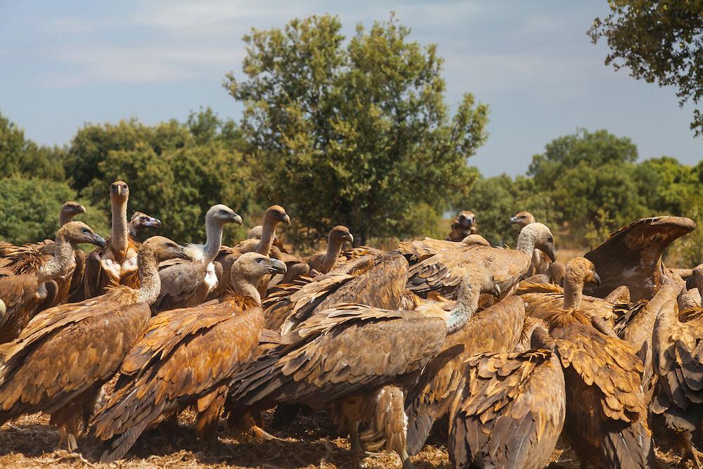 GRIFFON VULTURE (Gyps fulvus), Campanarios de Azaba Biological Reserve, Salamanca, Castilla y Leon, Spain, Europe