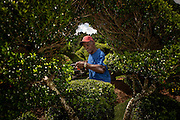 Pearl Fryar works in his Topiary Garden August 21, 2013 in Bishopville, South Carolina. Pearl Fryar without any horticultural experience turned discarded plants into an amazing topiary wonderland in his former corn field in a tiny village in rural South Carolina.