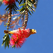 Swallow hanging from a Bottle Brush flower