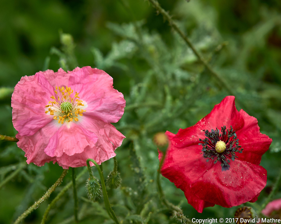 Red and pink poppy flowers after the rain. Backyard summer nature in New Jersey. Image taken with a Leica T camera and 55-135 mm lens (ISO 100, 135 mm, f/5.6, 1/60 sec).
