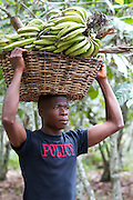 Many cocoa farmers are being taught and encouraged to diversify and grow other crops like these plantain.