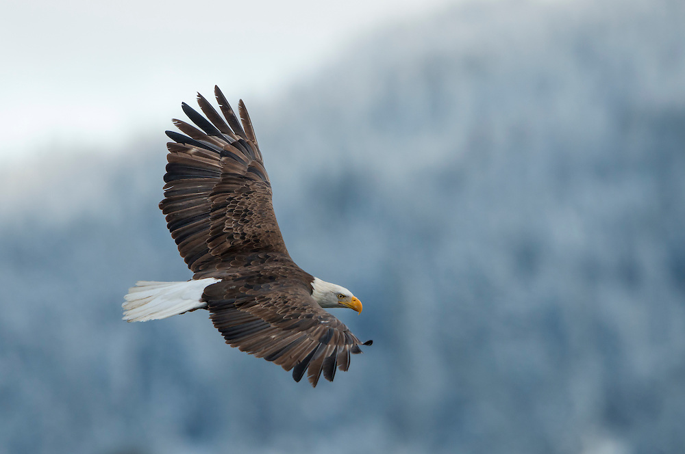 A bald eagle (Haliaeetus leucocephalus) in flight, Idaho