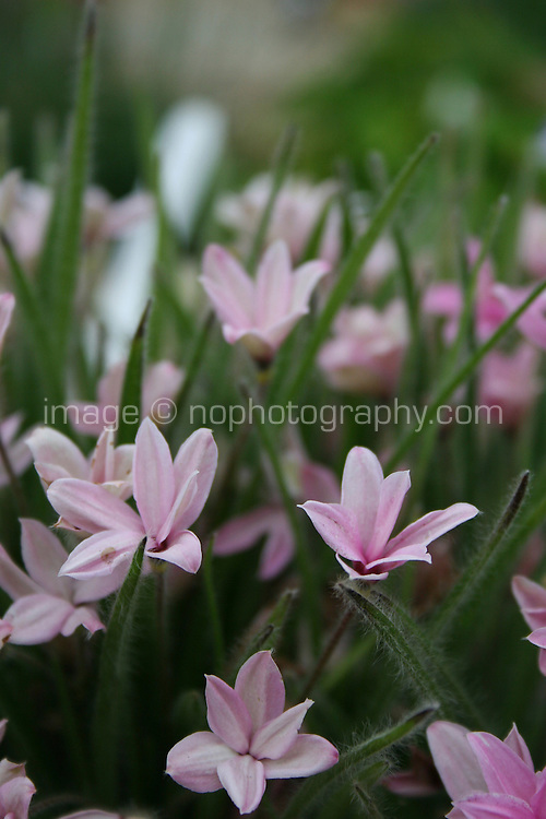 pink flowers Rhodohypoxis Fred Broome