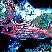 Dusky Squirrelfish inhabit shallow rocky coastlines and reef crests hiding in small recesses in the Tropical West Atlantic; picture taken Grand Cayman.