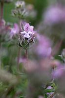 Summer Savory (Satyreja thymbra), Elafonissi, Crete