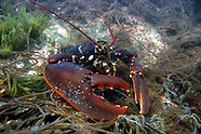 Crayfish, Lobsters & Mantis Shrimps