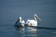 The American White Pelican (Pelecanus erythrorhynchos) is a large aquatic bird from the order Pelecaniformes. It breeds in interior North America, moving south and to the coasts, as far as Central America and South America, in winter The American white pelican is a large aquatic soaring bird from the order Pelecaniformes. It breeds in interior North America, moving south and to the coasts, as far as Central America and South America, in winter.