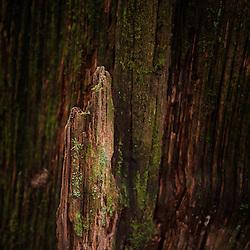 Redwood tree detail