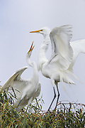 Great Egret<br /> Ardea alba <br /> Adult and 4-5 week old fledgling<br /> Sonoma County, California