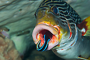 A Diagonal-Banded Sweetlips (Plectorhinchus lineatus) being cleaned by a Cleaner Wrasse (Labroides dimidiatus) in Komodo National Park, Indonesia.