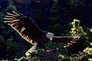 Bald Eagle -  Haliaetus leucophalus illuminated by back lit sun