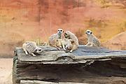 A group of Meerkats relax at Taronga Zoo, Sydney, Australia.