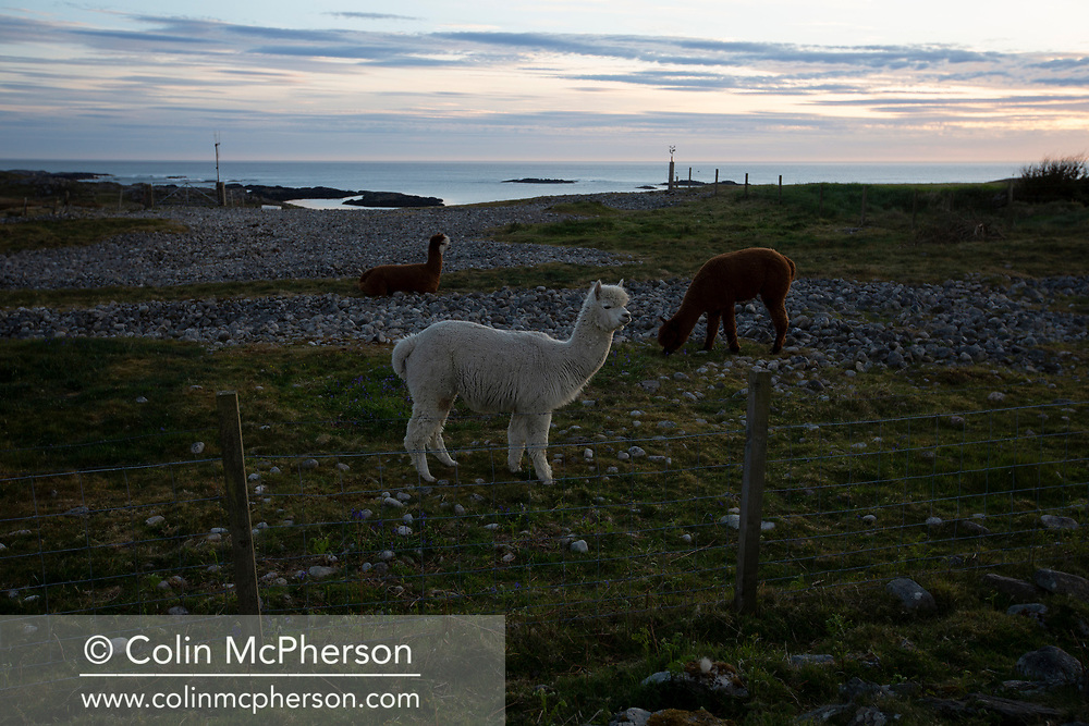 Three alpaca on a farm on the the Inner Hebridean island of Colonsay on Scotland's west coast.  The island is in the council area of Argyll and Bute and has an area of 4,074 hectares (15.7 sq mi). Aligned on a south-west to north-east axis, it measures 8 miles (13 km) in length and reaches 3 miles (4.8 km) at its widest point, in 2019 it had a permanent population of 136 adults and children.
