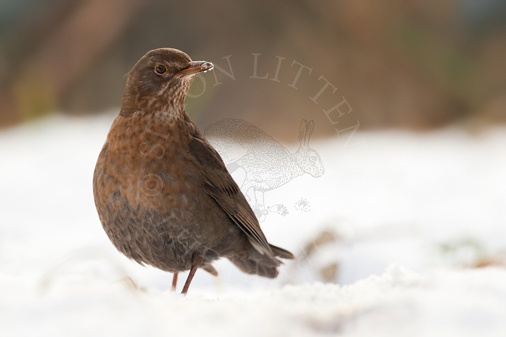 European Blackbird (Turdus merula) adult female, standing in snow, Norfolk, UK.