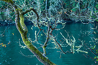 A view of a tree limb covered with moss and lichen hanging above a dark green body of water, Ruckle Provincial Park, Salt Spring Island, British Columbia, Canada.
