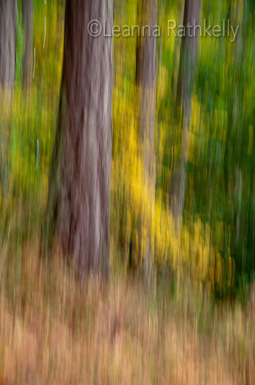 The trees and foliage change to autumn colors in the forest of Mt. Doug park, Victoria, BC in this motion blurred photo.