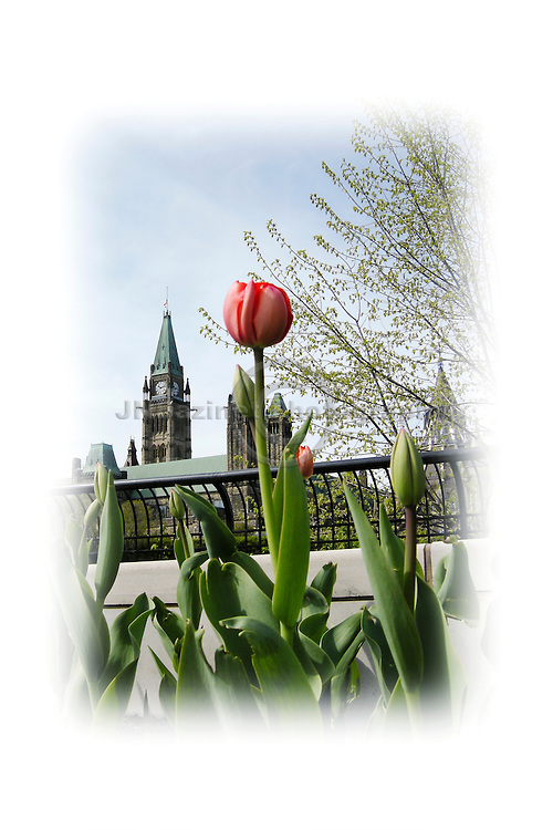 Tulips at Major Hill's Park in downtown Ottawa are in full bloom across the way from the Parliament Buildings.