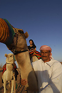 A desert safari is an exhilarating way of discovering Dubais natural beauties. Camel ride at sunset. Dubai Conservation Desert Reserve.&amp;#xD;Dubai. United Arab Emirates.<br />