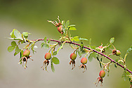 Unripe fruit of Prickly Rose (Rose Hips) at North Fork of Eagle River in Eagle River Valley of Chugach State Park.  Chugach Mountains.  Southcentral Alaska.  Summer.  Morning.