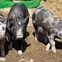 Young black and white Berkshire pigs feeding at the trough. Berkshire hogs are a heritage breed, the livestock equivalent of heirloom tomatoes. Prized for its richness and depth of flavor, Berkshire pork is widely considered to be the Kobe beef of the pork world. A study conducted by the  US National Pork Producers Council concluded that Berkshire pigs top all other breeds in such categories as meat marbling, moisture, and tenderness. <br /> They were named for the region in England where they were discovered by Oliver Cromwell's army more than 300 years ago.  Berkshires are also called Kurobuta in Japan, where they are very prized.