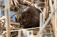 Muskrat (Ondatra zibethicus) feeding on fresh rushes, Annapolis Royal Marsh, French Basin trail, Annapolis Royal, Nova Scotia, Canada,