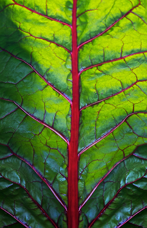 This backlit leaf of Chard reminds me of an alien brain with all it's vibrant red veins.