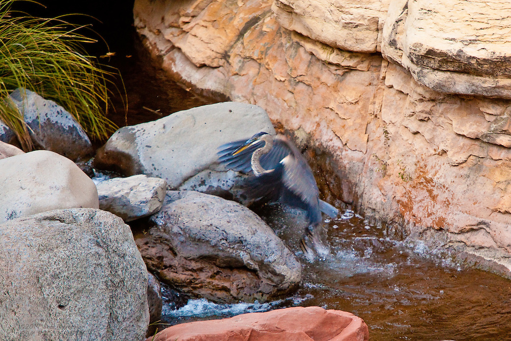 A Great Blue Heron emerges from a pool in Slide Rock State Park in Arizona's Oak Creek Canyon, near Sedona. The Heron was fishing in the creek.