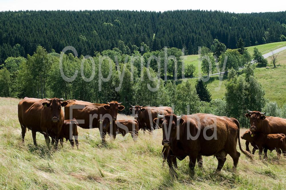 Rinderherde Rotes Höhenvieh, Tanne, Harz, Sachsen-Anhalt, Deutschland | cattle Rotes Hoehenvieh, Tanne, Harz, Saxony-Anhalt, Germany
