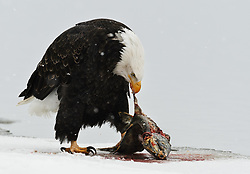 A bald eagle (Haliaeetus leucocephalus) feeds on a salmon on the bank of the Chilkat River as it snows in the Alaska Chilkat Bald Eagle Preserve near Haines, Alaska. During late fall, bald eagles congregate along the Chilkat River to feed on salmon. This gathering of bald eagles in the Alaska Chilkat Bald Eagle Preserve is believed to be one of the largest gatherings of bald eagles in the world.