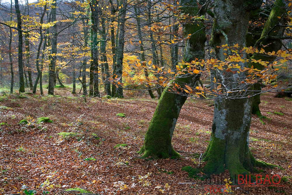 Beechwood in autumn. <br />