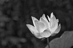 Lotus, nelumbo, pink #2