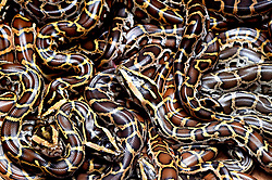 June 8, 2017 - Kolkata, India - Burmese pythons  at the Alipore Zoological garden in  Eastern India city Kolkata on June 8, 2017. This is the first time reticulated and Burmese pythons have been artificialy bred and successfully hatched at the zoo. (Credit Image: © Debajyoti Chakraborty/NurPhoto via ZUMA Press)
