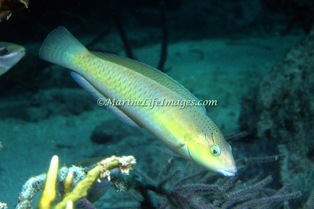 Yellowhead Wrasse consatantly swim about reefs in Tropical West Pacific; picture taken Grand Cayman.