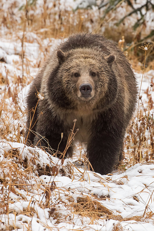 &quot;Alive, the grizzly is a symbol of freedom and understanding - a sign that man can learn to conserve what is left of earth. Extinct, it will be another fading testimony of things man should have learned more about but was too preoccupied with himself to notice.&quot;<br />