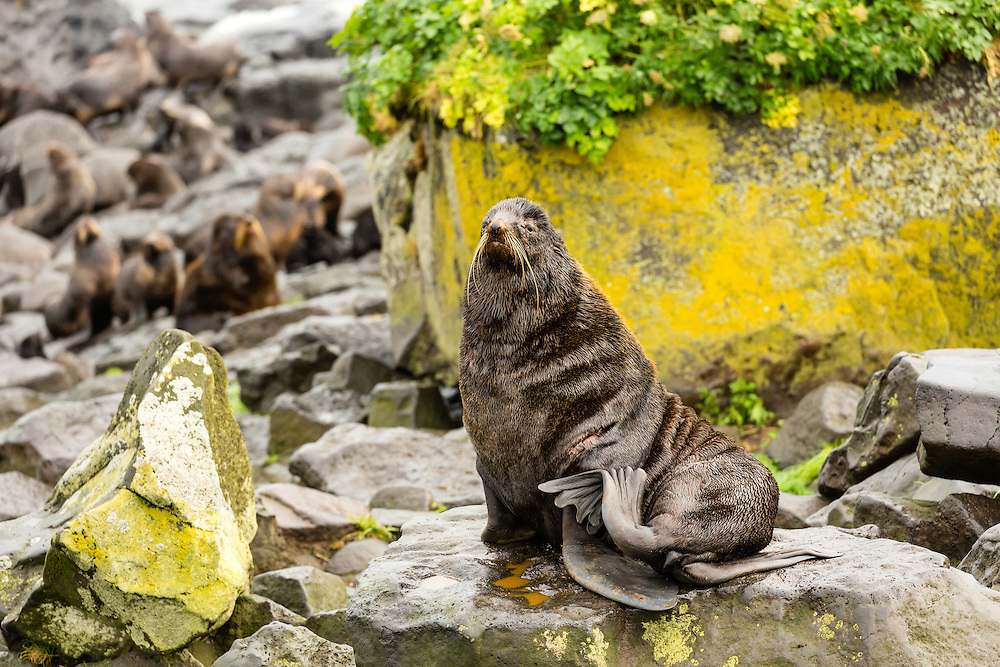 Northern Fur Seal (Callorhinus ursinus) on St. Paul Island in the Pribilofs in Southwest Alaska. Summer. Morning