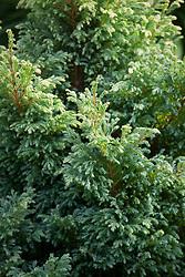Chamaecyparis pisifera 'Boulevard' AGM syn. C.p. 'Squarrosa Boulevard'. Sawara cypress