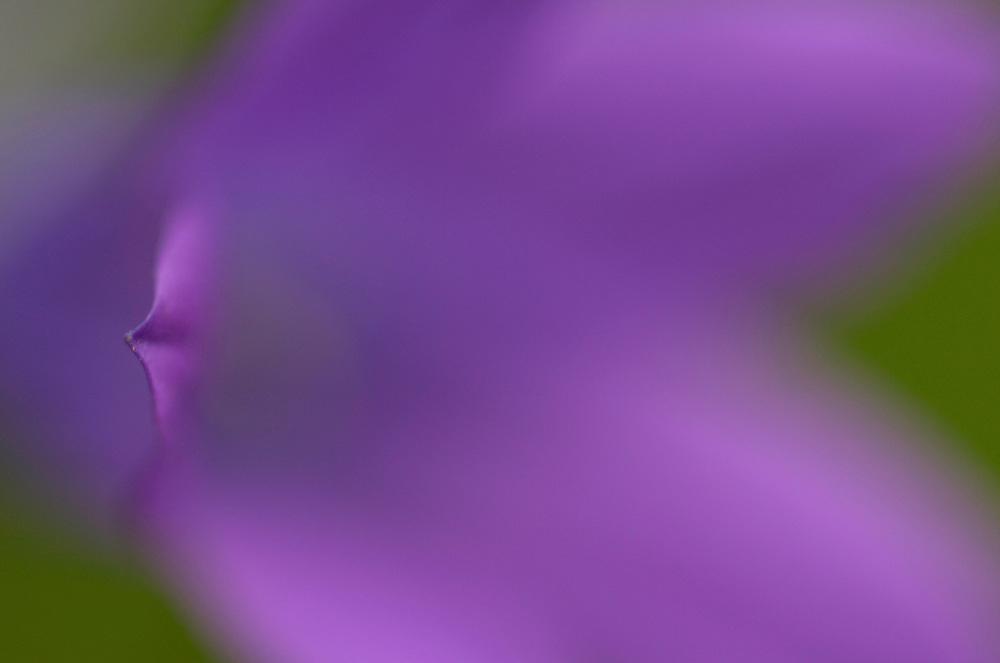 Spreading bellflower, Campanula patula, Vastmanland, Sweden