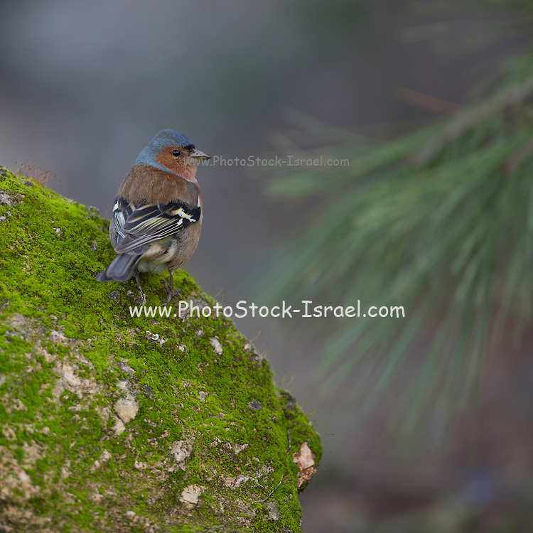 male common chaffinch (Fringilla coelebs) on a rock. Chaffinches are partial migratory birds that eat mainly seeds. They are found in gardens and woodlands all over Europe. Photographed in Israel in February