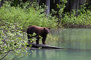 The River Safari in Blue River, British Columbia, offers one hour boat tours in the Monashee Mountains.  The tour operates by jet boat in one of the only inland temperate rainforests in the province.  Although the most sought after sightings are bears, both grizzly and black, there are also possibilities to see moose, eagle and osprey.  Black bears coming down to the water in search of food.