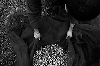 01/12/2010 Acquaviva delle Fonti, retina piena di olive pronta per essere svuotata....La raccolta delle olive e la produzione dell'olio extravergine sono un rituale che si protrae da moltissimo tempo in Puglia, questo avviene solitamente nel periodo che va da novembre a dicembre, mentre il lavoro di preparazione e coltivazione si svolge lungo tutto l'arco dell'anno..La raccolta è seguita nella maggior parte dei casi, quando le olive non vengono vendute all'ingrosso, dalla molitura presso gli oleifici per la produzione di quello che da queste parti viene chiamato anche oro verde..