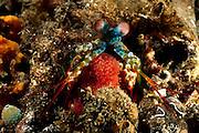 [size of single organism: 13 cm] Zwischen den vorderen Extremitäten trägt dieser Bunte Fangschreckenkrebs (Odontodactylus scyllarus) seine Eier. Räuber haben kaum Chancen, dem Krebs sein Gelege abspenstig zu machen. | Peacock mantis shrimp adult female carrying eggs (Odontodactylus scyllarus) - Adult females usually have an olive or brownish body color. These animals build burrows in rubbly substrate and sand, lining the burrow with small pieces of dead coral, shell and rock.