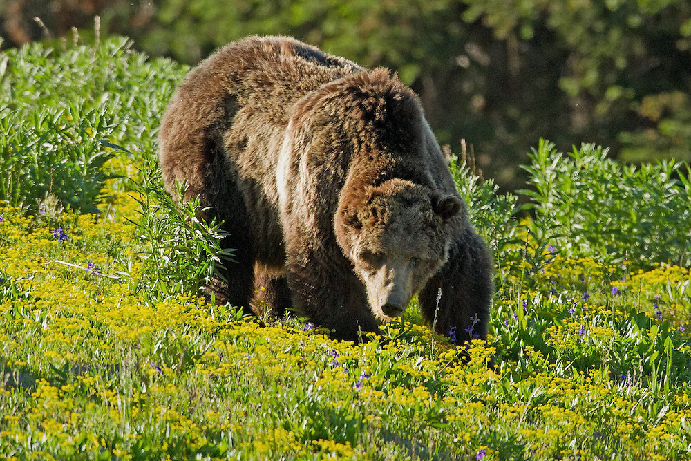 One of Yellowstone's biggest celebrities is Grizzly 211, affectionately known as Scarface.  This grand old man has survived for 22 years in the wilds of Yellowstone and every summer returns to Dunraven Pass to feast on biscuitroot, a grizzly favorite.