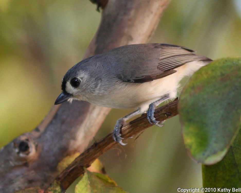 Beautiful image of a tufted titmouse.