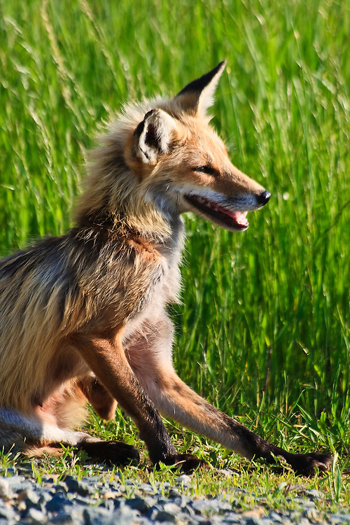 A backlit adult female red fox (Vulpes vulpes) pauses while hunting to scratch an itch, Bombay Hook National Wildlife Refuge, Smyrna, Delaware.