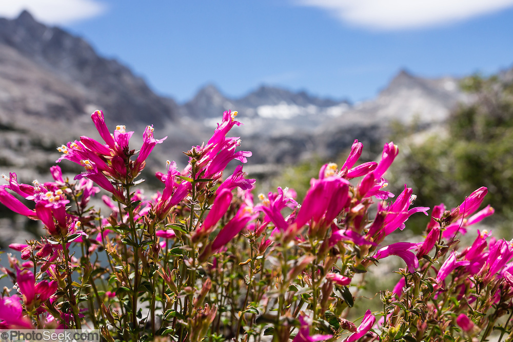 Alpine Penstemon (Penstemon davidsonii) blooms with a bright magenta/pink color at Blue Lake in John Muir Wilderness, Inyo National Forest, Sierra Nevada, California, USA. In the Bishop Creek watershed, enjoy a scenic hike from Lake Sabrina to beautiful Blue Lake, Emerald Lakes, and Dingleberry Lake. The good trail is 8.5 miles round trip with 1850 feet cumulative gain. (Beyond Dingleberry Lake, the trail splits to Midnight Lake and Hungry Packer Lake.)