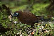 Immaculate Antbird (Myrmeciza immaculata)<br /> Mashpi Rainforest Biodiversity Reserve<br /> Pichincha<br /> Ecuador<br /> South America