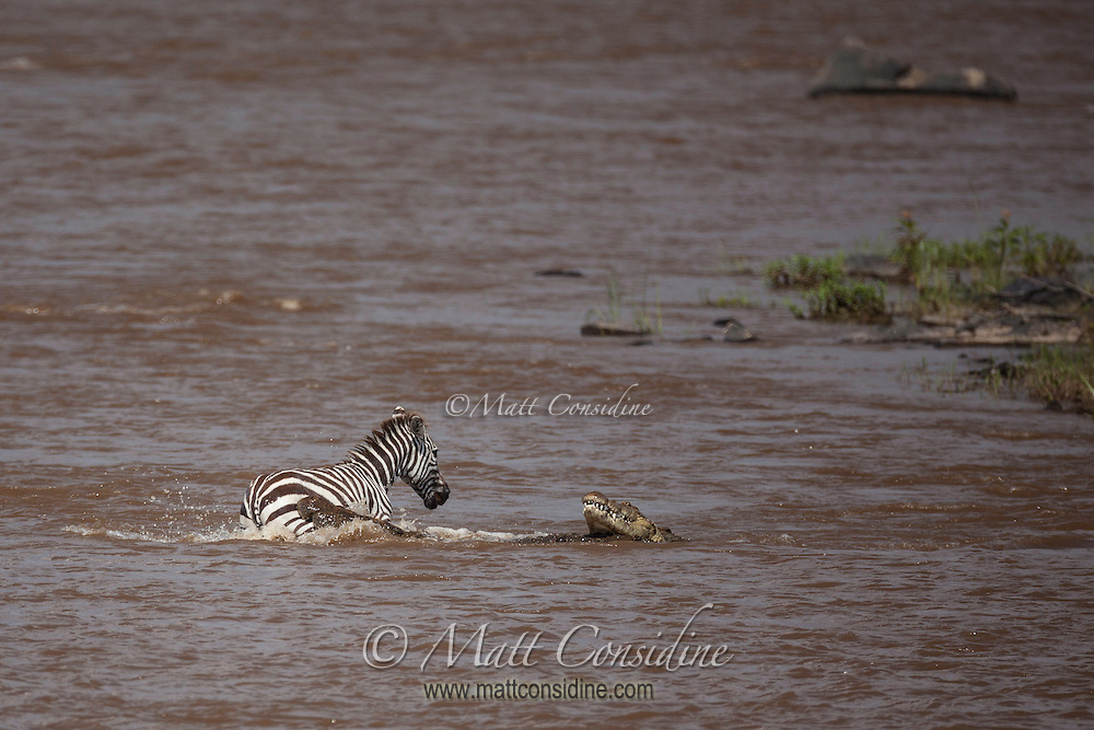 Lone zebra under attack from crocodiles in the Mara River during the annual migration in the Masai Mara Reserve, Kenya, Africa (photo by Wildlife Photographer Matt Considine)