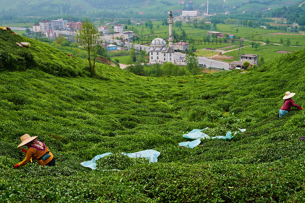 Turquie, la région de la Mer Noire, Anatolie, plantation du thé sur les collines dans la région de Trabzon // Turkey, the Black Sea region, tea plantation in the hills near Trabzon in Anatolia