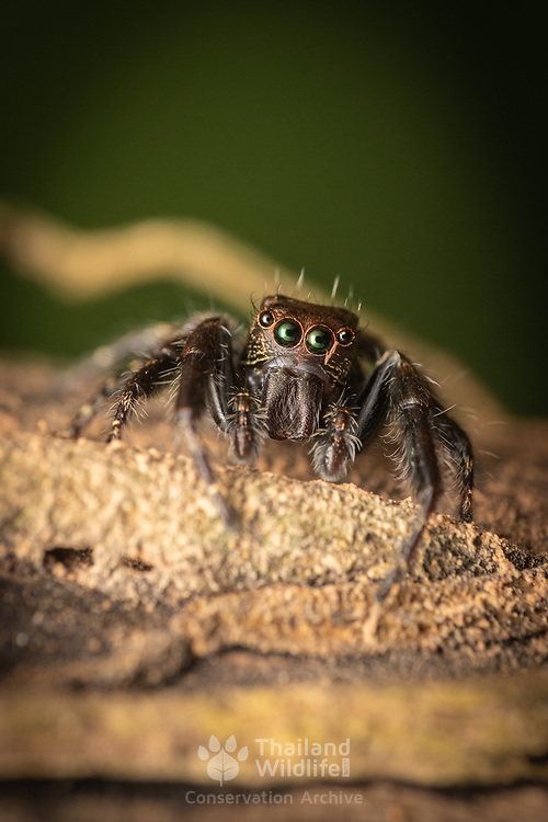 Jumping spiders are a group of spiders that constitute the family Salticidae. This family contains over 600 described genera and more than 5800 described species, making it the largest family of spiders with about 13% of all species