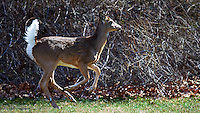 Deer in My Backyard, Early Spring in New Jersey. Image taken with a Nikon D4, and 600 mm VR lens (ISO 560, 600 mm, f/4, 1/2000 sec)